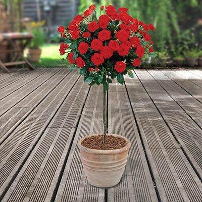 Pair of Patio Half Standard Roses - Red