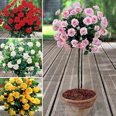 Half Standard Roses Collection 80-90cm tall