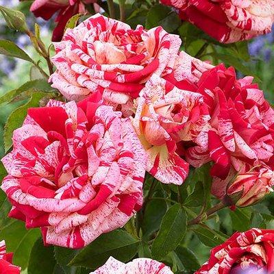 Rose Broceliande (R) Premium Bush