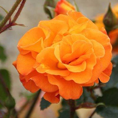 Rose Precious Amber in a 3L Pot