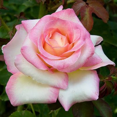 Bi-colour Rose La Minuette