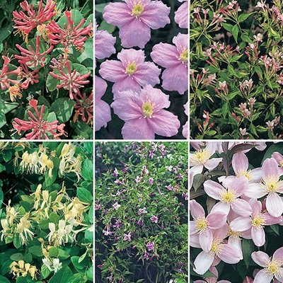 Fragrant Climbing Plant Collection - 6 plugs