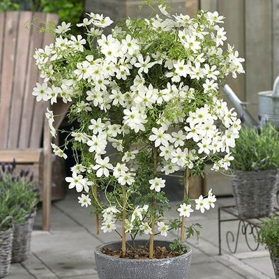 Fragrant Evergreen Clematis