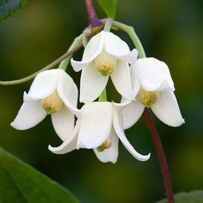 Clematis Winter Beauty 9cm