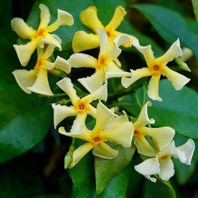 Trachelospermum asiaticum Chili Vanilla
