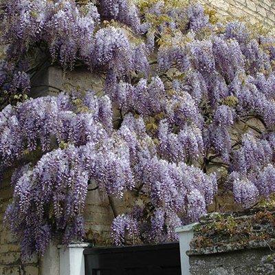 Wisteria frutescens Longwood Purple