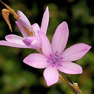 Dierama erectum (Angels Fishing Rod) plants in 9cm pots - set of 3