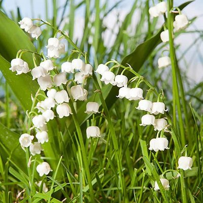 Lily of the Valley, Convallaria majalis