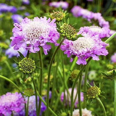 Hardy Scabious