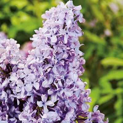 French Lilac - Syringa Lavender Blue 2L