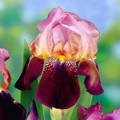 Iris Germanica Ambassadeur Hardy Bearded Iris