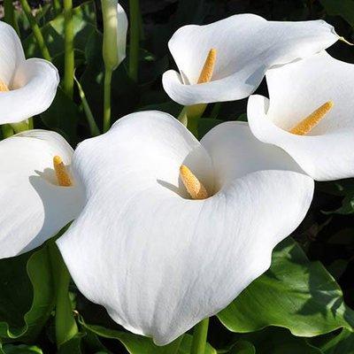Zantedeschia aethiopica Arum Lily