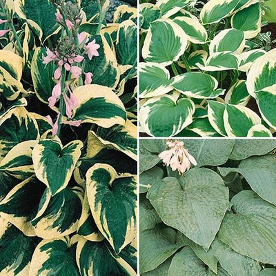 Hosta Collection 3 x 9cm