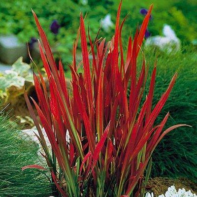Imperata cylindrica Red Baron 2L