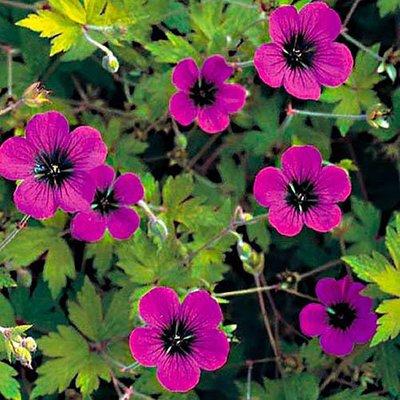 Hardy Geranium Ann Folkard Cranesbill