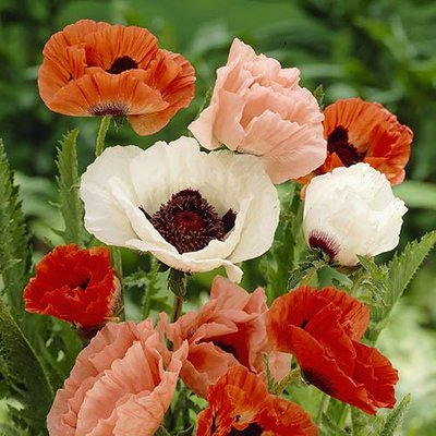 Oriental Poppy Collection x 5 bare roots
