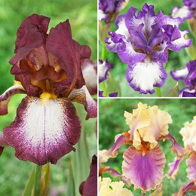 Pack of 6 Mixed Hardy Bearded Iris germanica Rhizomes