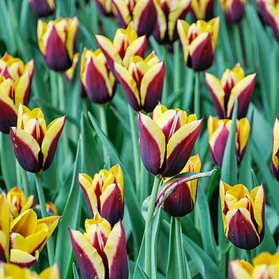 Tulip Tulipa Gavota