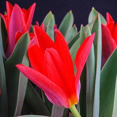 """Tulip bulbs""""Scarlet Baby"""" pack of 25"""