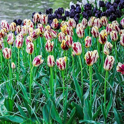 """Tulip bulbs """"Grand Perfection"""" pack of 15"""