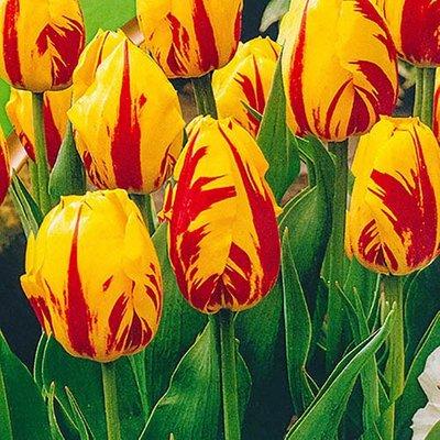 "Tulip bulbs ""Washington"" pack of 15"