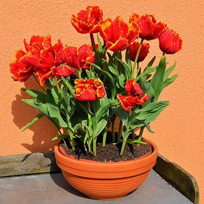 """Tulip bulbs """"Bright Parrot"""" pack of 12"""