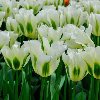 """Tulip bulbs """"Spring Green"""" pack of 10"""