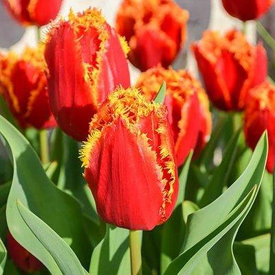 "Tulip ""Lambada"" Size:11/12 pack of 12 bulbs"