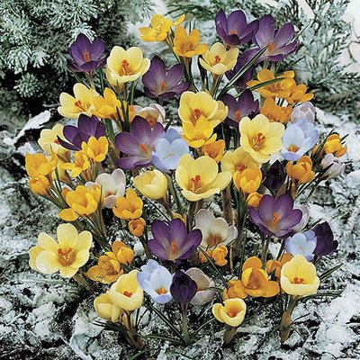 "Crocus ""Species Mixed"" (Autumn flowering) Size:5/7 pack of 50"