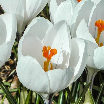 Large-Flowered Crocus White