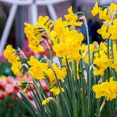 Jonquil Daffodil Narcissus Quail
