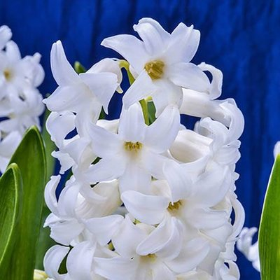Hyacinth White Size:14/15 pack of 8 bulbs