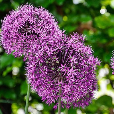 "Allium bulbs ""Mars"" pack of 2"