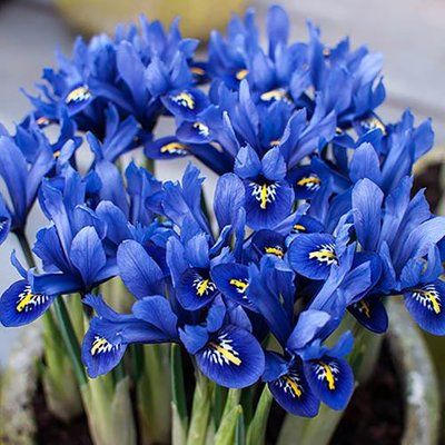Iris reticulata Blue (miniature) Size:5/7 pack of 30 bulbs