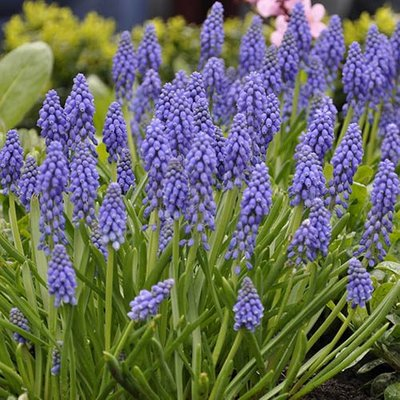 Muscari armeniacum Grape Hyacinth