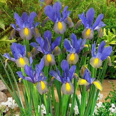 Dutch Iris hollandica Mystic Beauty
