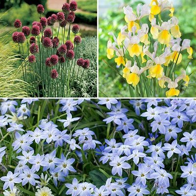 Spring Festival 60 bulb mix - Ipheion, Drumsticks & Iris Apollo