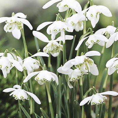 Double-Flowered Snowdrops In The Green