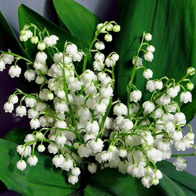 Pack of 3 Lily of the Valley Perennial Plants in 9cm Pots