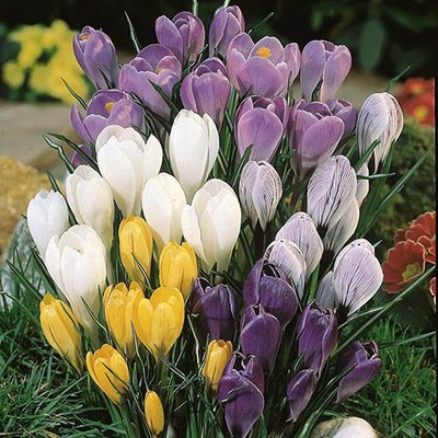 Crocus bulbs Giant Flowered Mix - pack of  100