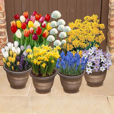300 Spring Flowering Bulb Collection in 9 varieties - plant in Autumn