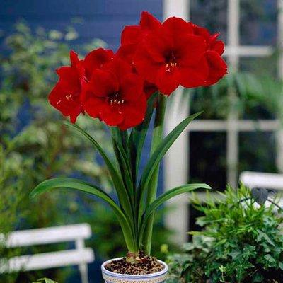 Red Amaryllis Bulb 24/26cm