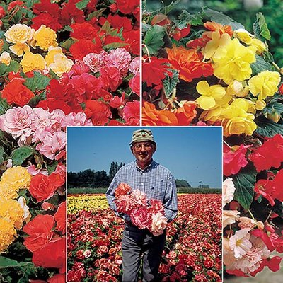 Belgian Giant Begonias - 10 Upright and 10 Trailers