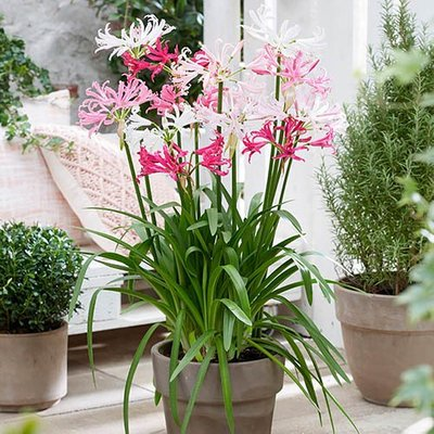 Nerine Hybridisers Mix x 10 bulbs