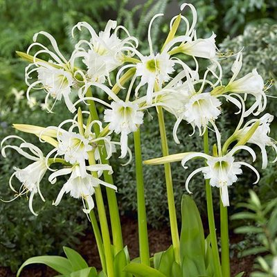Ismene festalis White Spider Lily