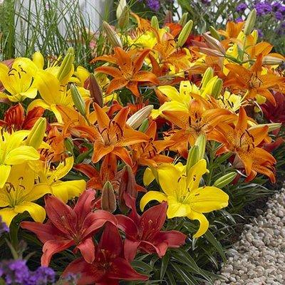 Carpet Lilies Hot Flame Mix