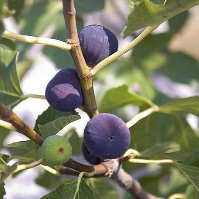 Standard Fig Tree in 5L pot - 1M+ tall
