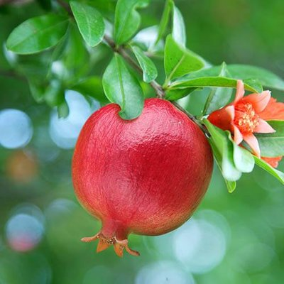 Hardy Pomegranate Bush