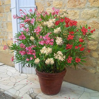 New Oleander Tricolour plant - 3 colours in one 19cm pot 40cm tall