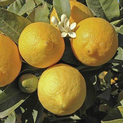 Pair of Large Lemon tree in 6.5L pot